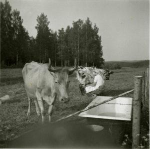 Ruusa-lehmä Vanjärvellä 1950-luvulla.