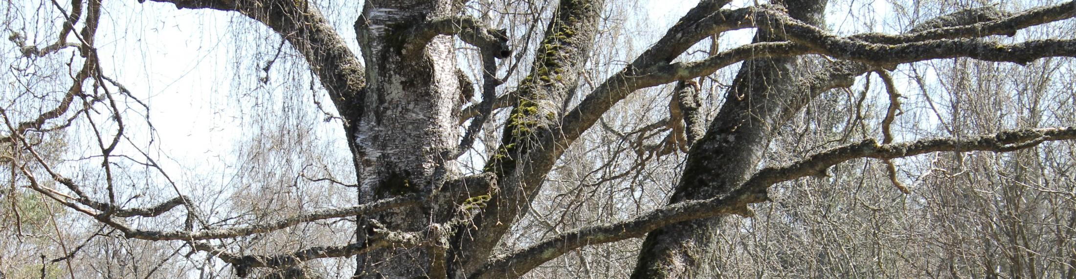 vanhapuu